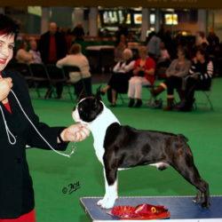 Boston-Terrier-Kennel-Hessenvillas-Elvis-gal1-min