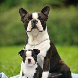 Boston-Terrier-Kennel-Hessenvillas-Elvis-gal3-min