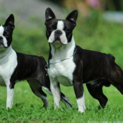 Boston-Terrier-Kennel-Hessenvillas-Elvis-gal5-min