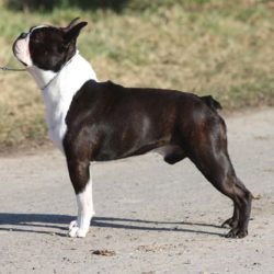 Boston-Terrier-Kennel-Hessenvillas-Elvis-gal6-min