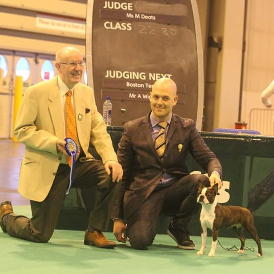 Boston-Terrier-Hessenvilla-Crufts-4-min
