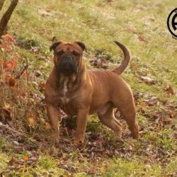 Hessenvillas-Continental-Bulldog-Bronson3-min